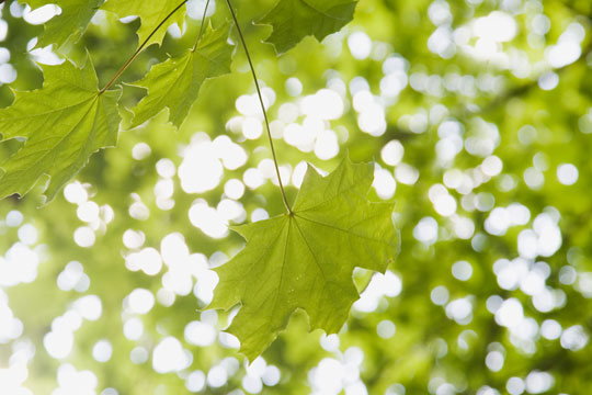 summer leaves and light