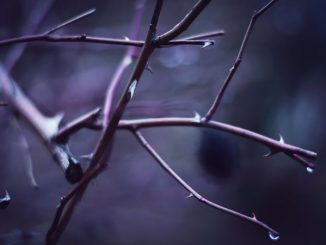 purple branches - lent